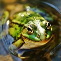 青蛙养殖技术视频书籍 如何养殖青蛙[荆州垄上行致富经]
